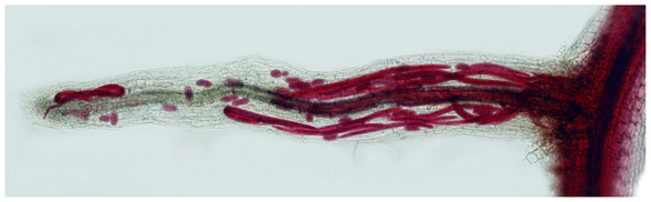 """Pratylenchus penetrans in hairy roots"" by P.Vieira"